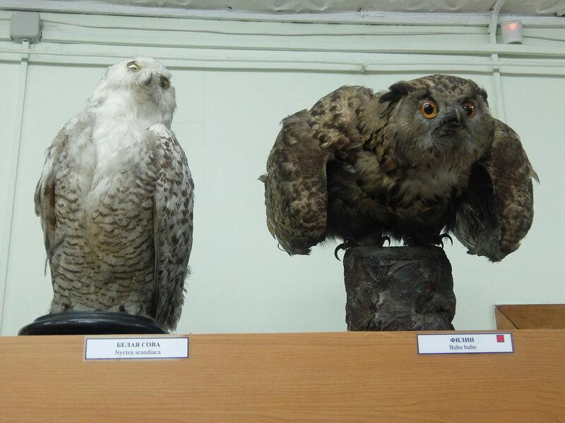 Минусинск - Краеведческий музей - Птицы