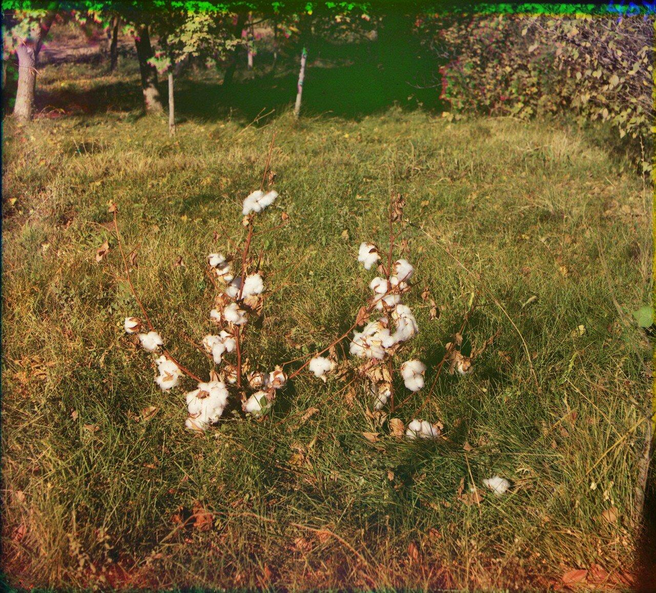 Окрестности Мерва. Байрам-Али. Мургабское имение. Хлопок