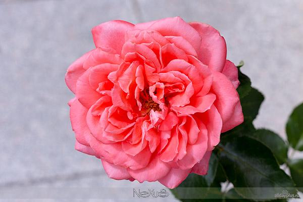 Я люблю все цветы, выпуск 128 | Две чайных розы.