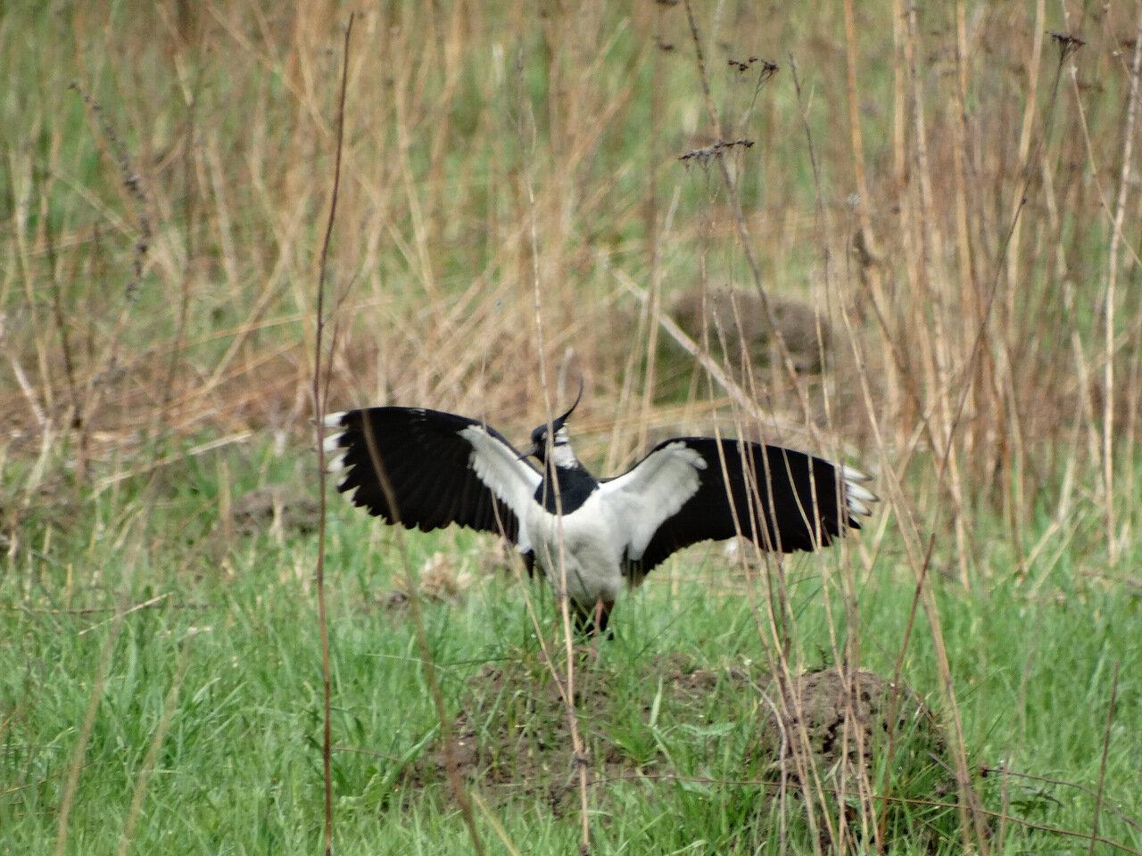 Чибис (Vanellus vanellus). Автор фото: Привалова Марина