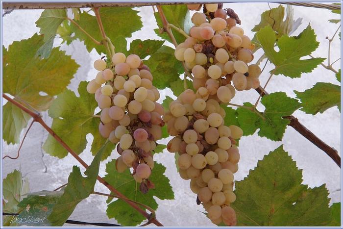 Ташкентский виноград в октябре