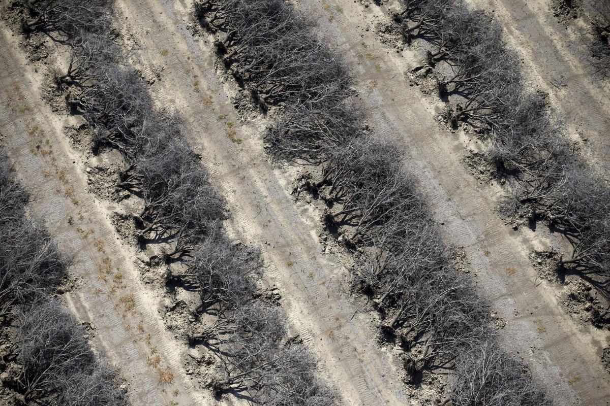 3. Роща мертвых миндальных деревьев в Коалинге, Калифорнийская долина. Миндальные деревья используют