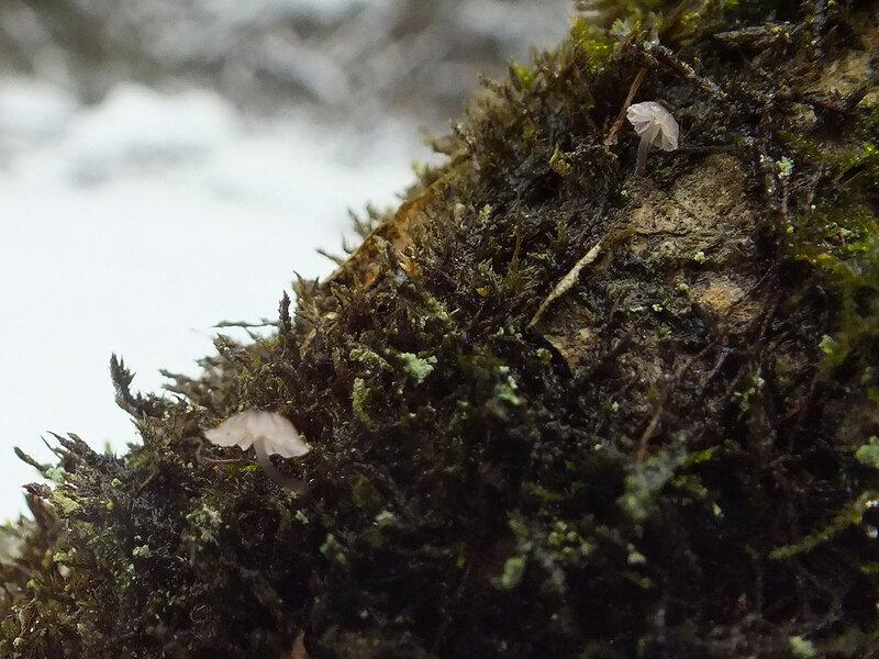 14.01.2015 Mycena pseudocorticola