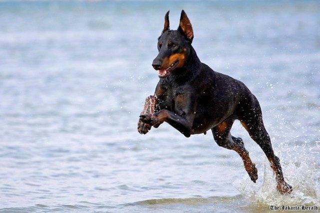 история породы собак доберман