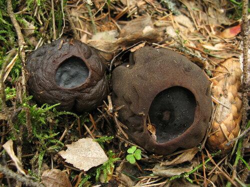 Саркосома шаровидная (Sarcosoma globosum) Автор фото: Станислав Кривошеев