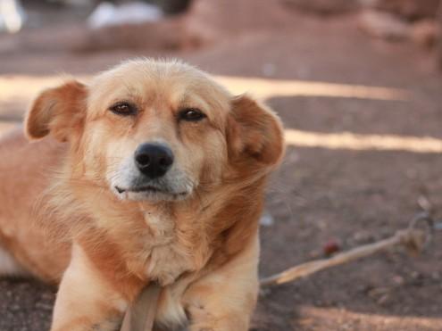 Приручение собак плохо сказалось наихздоровье