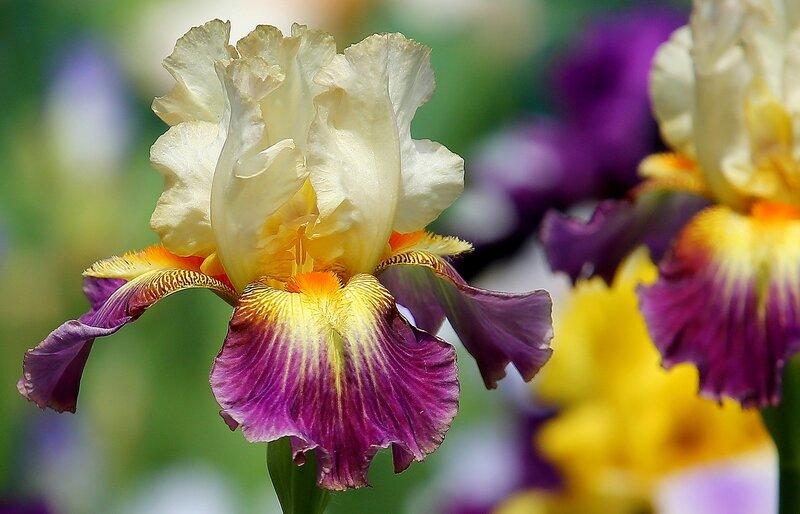 Ирисы! Они приглашены на званый бал цветов, самых прекрасных...