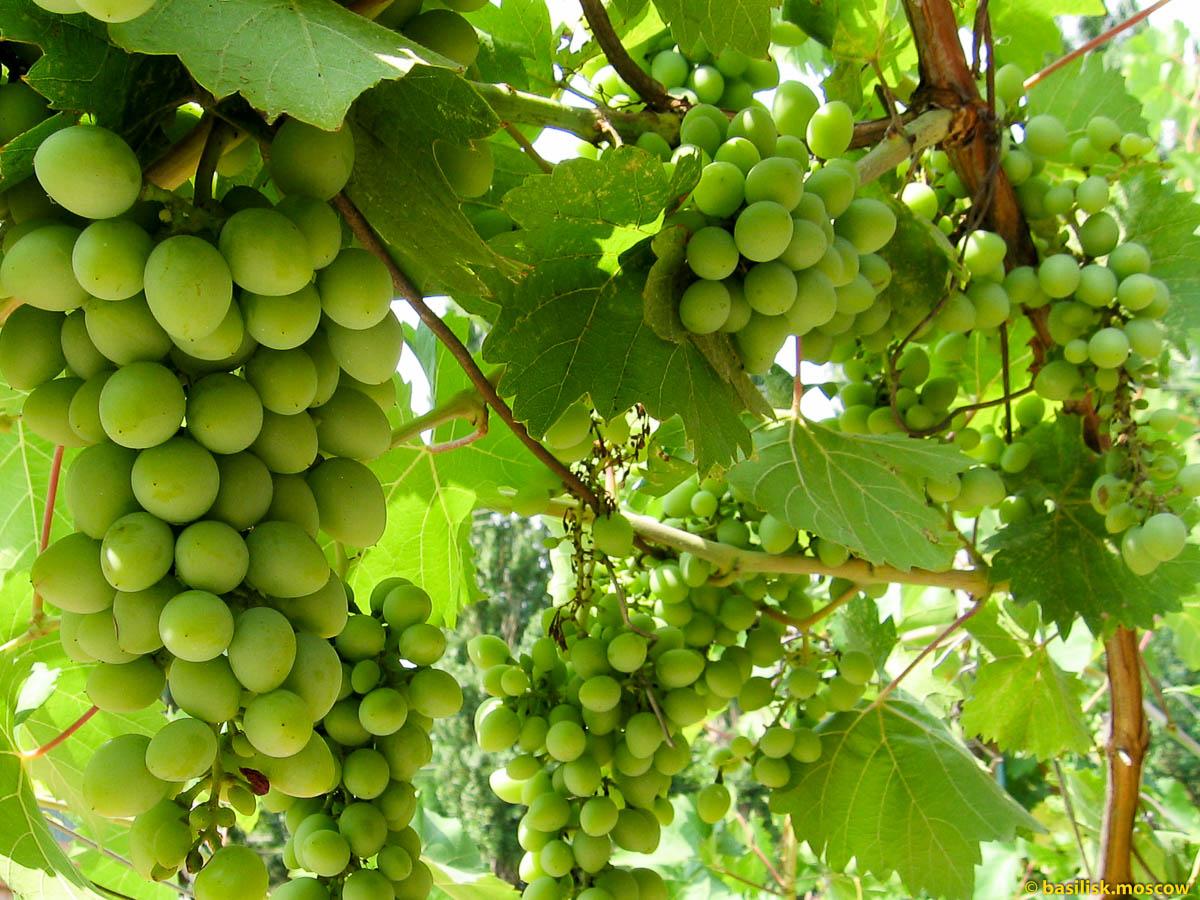 Виноград ещё зелёный. Август 2015.