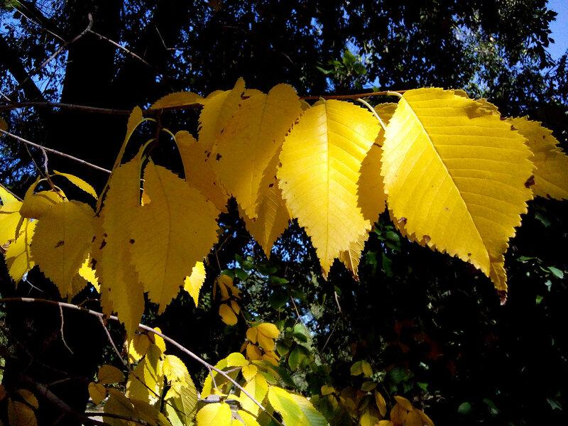 Листья жёлтые сентября.jpg