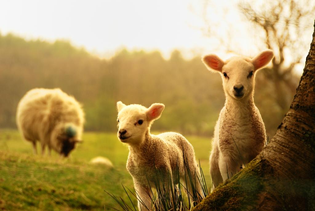 барашек овчинка красиво