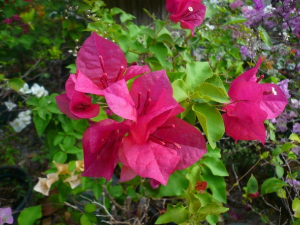 Цветы Таиланда 0 141ae9 30fe22bf orig