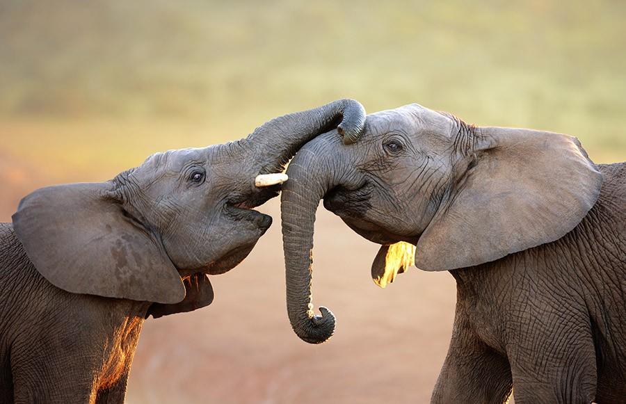 Слоны — могучие животные, но, когда дело касается возлюбленных, они — сама нежность. В хоботе слона