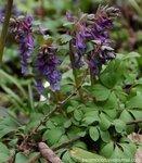 Хохлатка плотная, или Геллера (Corydalis solida = C.halleri/Fumariaceae), семейство дымянковые