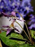 Кандык европейский, «собачий клык», эритрониум (Еrythronium dens-canis / maculatum), семейство лилейные