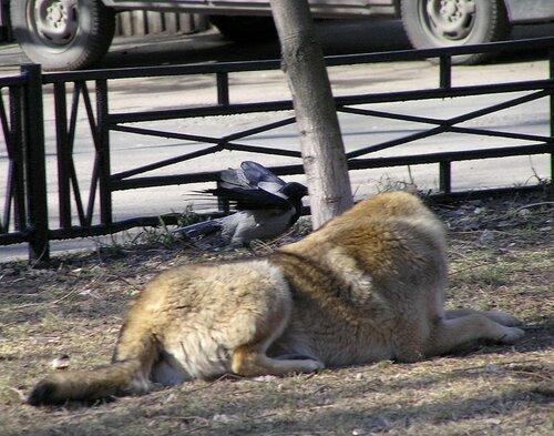 Ворона и собака-10.