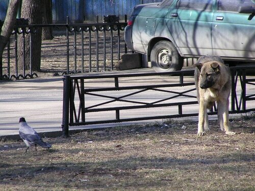 Ворона и собака-4.