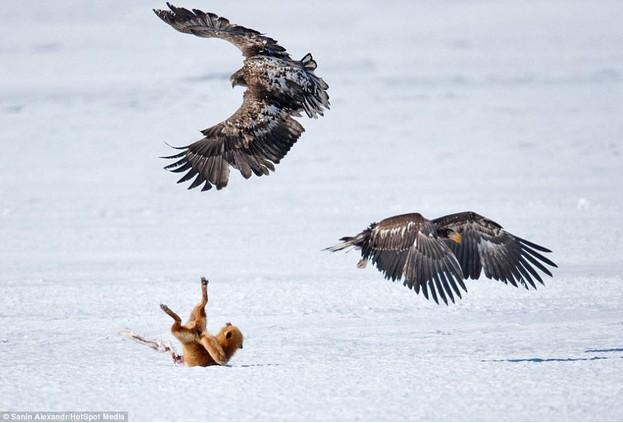борьба лиса и орлов
