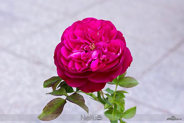 5a8Я люблю все цветы, выпуск 128 | Две чайных розы.