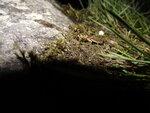 Нимфа веснянки в траве