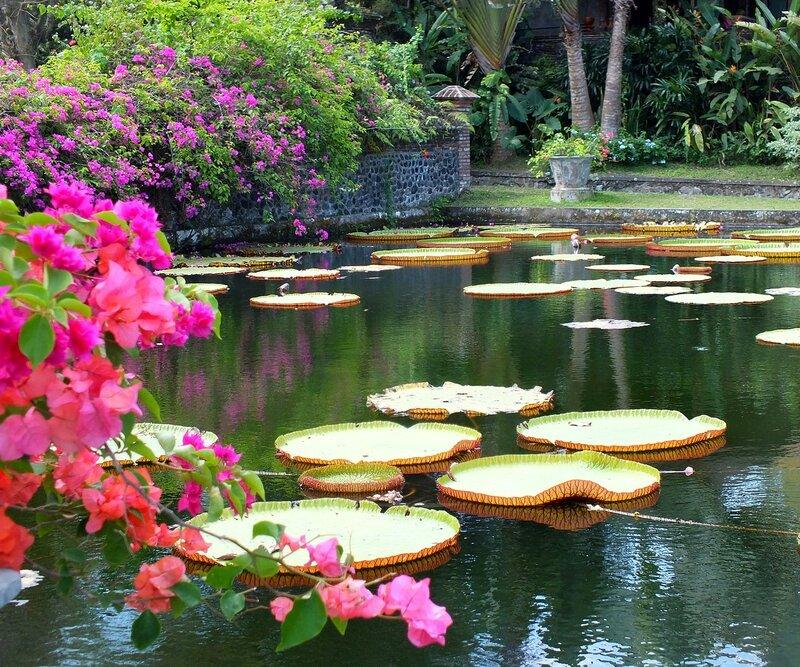 Кувшинка Виктория Регия. Сказка острова Бали