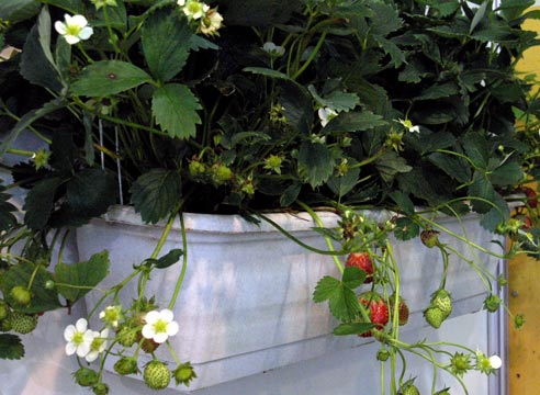 orangereia-na-balkone-10.jpg