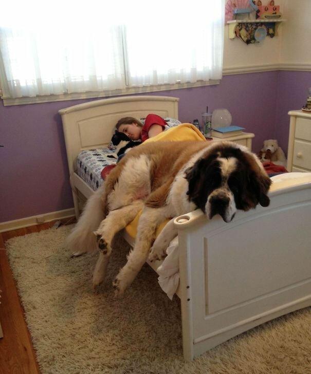 картинки, животные - 19 громадных собак, до сих пор считающих себя милыми щеночками