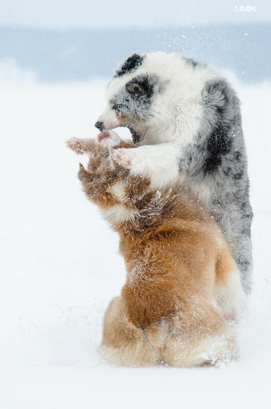 Мои собаки: Зена и Шива и их друзья весты - Страница 6 0_a7714_b4f1194_XL