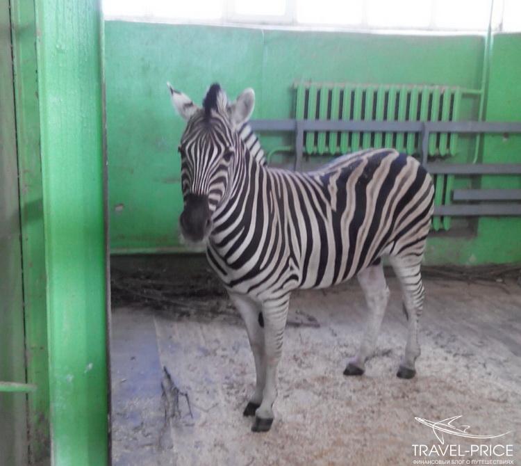 зебра в зоопарке Казани