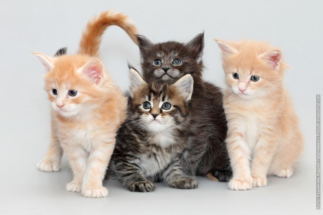 котята мейн-кун продажа в Москве