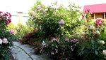 James Galway с почвопокровными розами