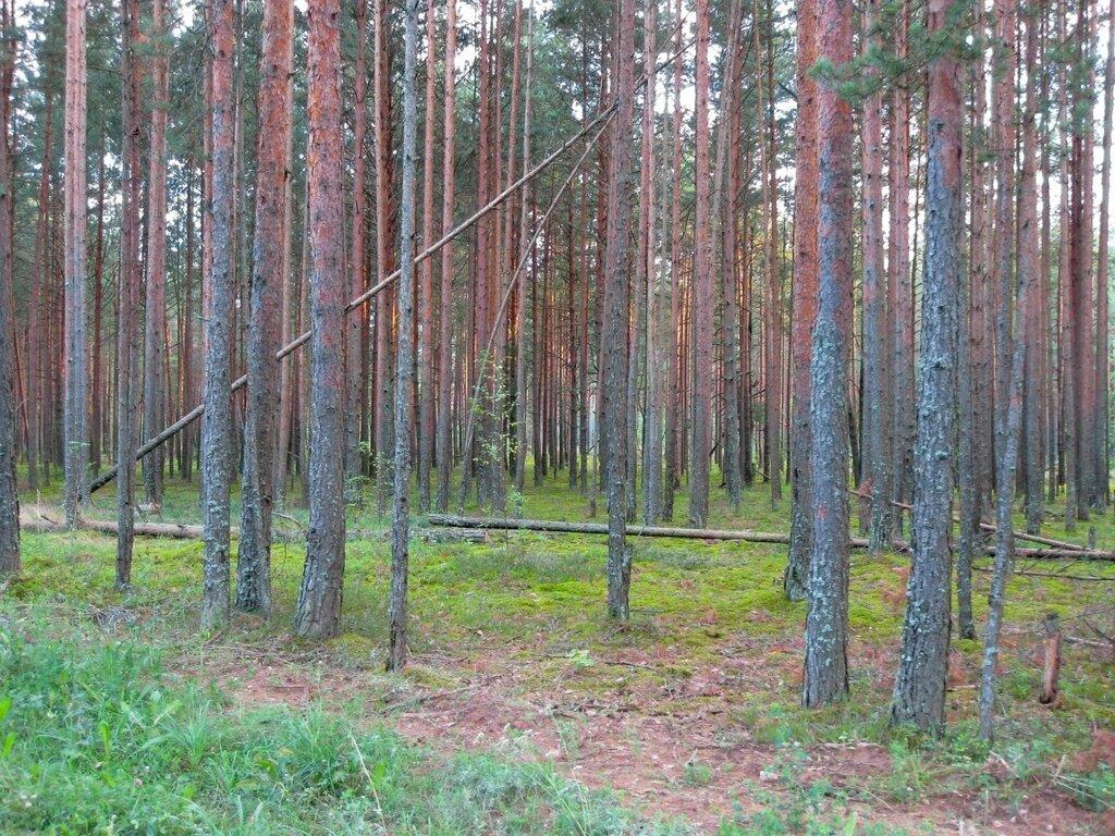 Сосновый лес, Псковская область