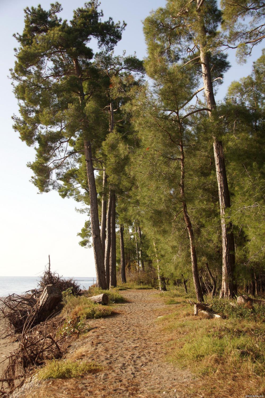 Красавицы пицундские сосны на берегу Чёрного моря