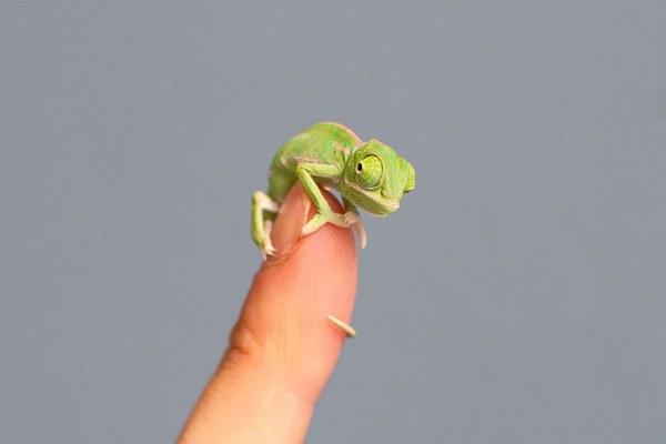 Kroshki-xameleonchiki-stali-zvyozdami-v-zooparke-Sidneya-12-foto