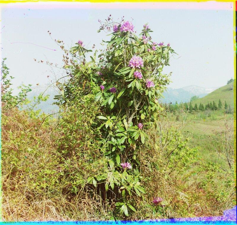 Ахалшени Розовый рододендрон 21475u.JPG