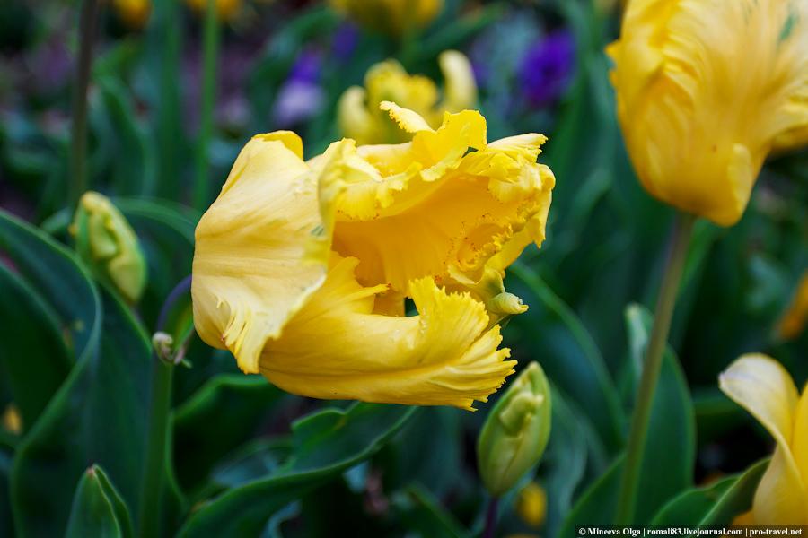 Кудрявый тюльпан