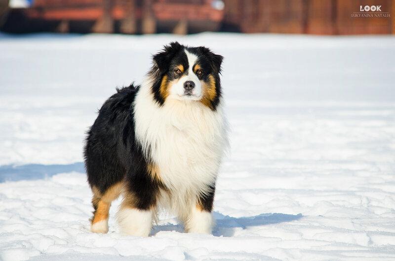 Мои собаки: Зена и Шива и их друзья весты - Страница 9 0_a83c7_5976c34b_XL