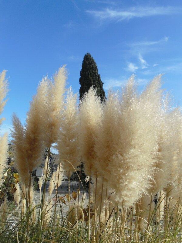 В декабрьском парке Симеиза. Кортадерия, пампасная трава
