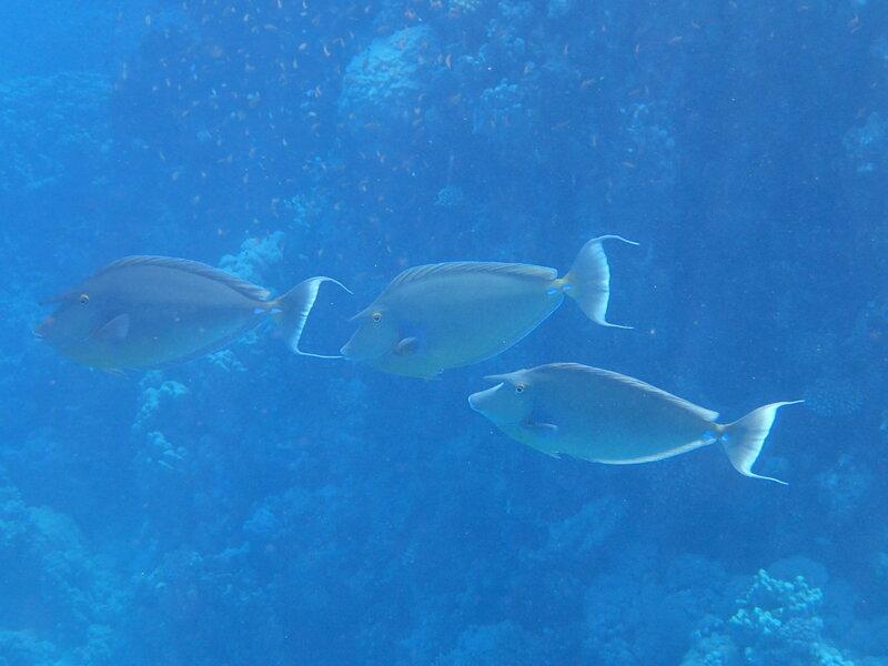 Синешипая рыба-носорог.