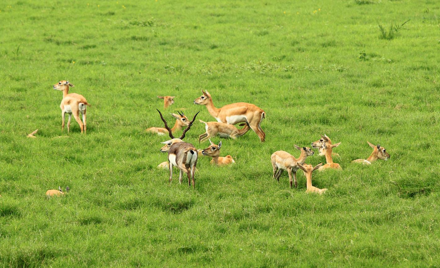 Фотография 23. Поездка в Индию. Антилопы в парке у гробницы Акбара.