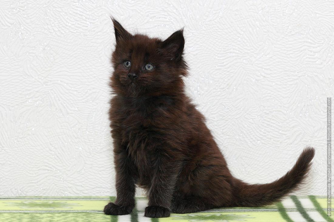 котенок Мейн-кун купить в питомнике