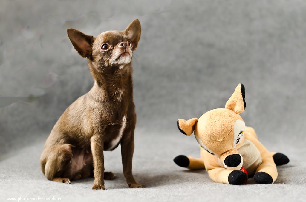 Снимок 7. Неподвижного друга нашей собаки было легче фотографировать - он не выходил из зоны ГРИП. (настройки, использованные при съемке: f 2.2; В=1/150; Р=1300 мм). Камера Никон Д5100 и портретный объектив Никон 50/1,4 Г