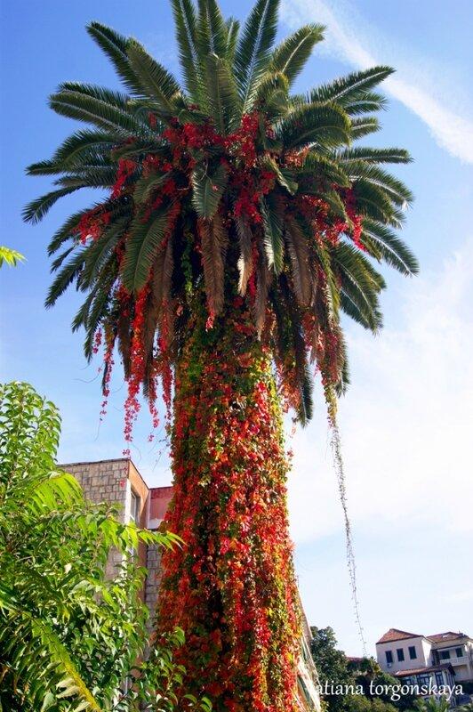 Осення пальма
