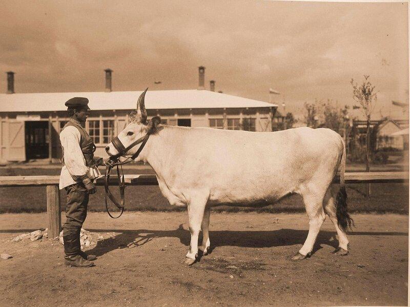 Корова Быстрая Венгерско-Украинской породы, выращенная в имении барона Фальц-Фейна