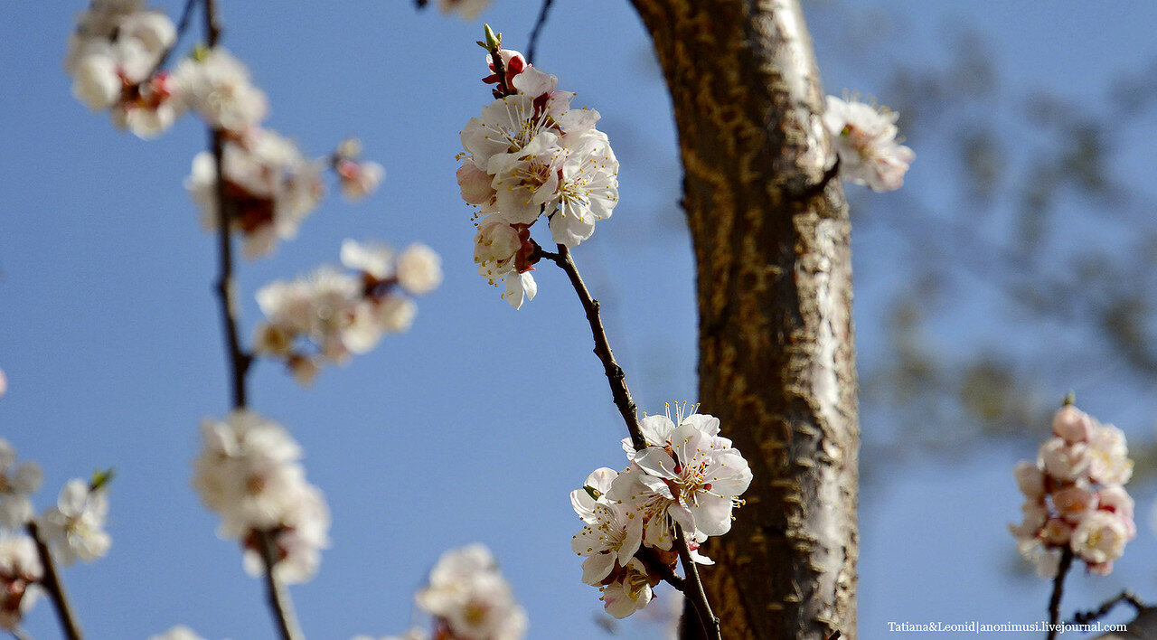 Цветет абрикос.