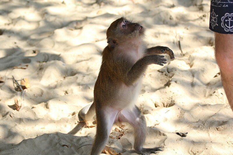 Длиннохвостый макак (яванский, макак-крабоед, Macaca fascicularis) на пляже выпрашивает еду