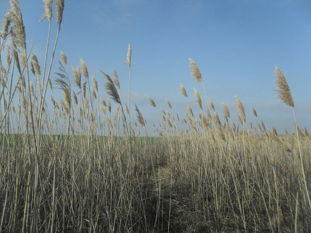 Тропа в камышах ... SAM_5502.JPG