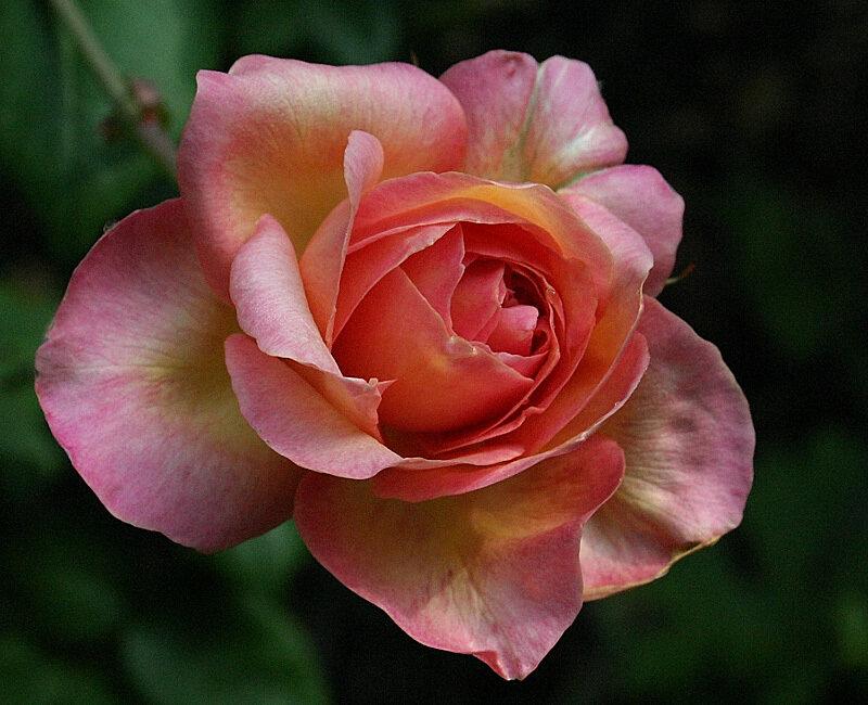 Английские розы. Интересные факты и красивые фотографии