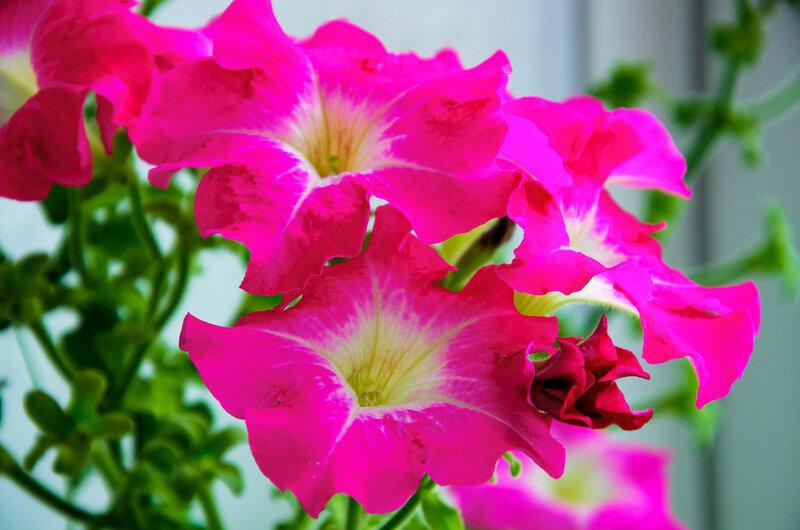 Выращивание здоровой и крепкой рассады петунии