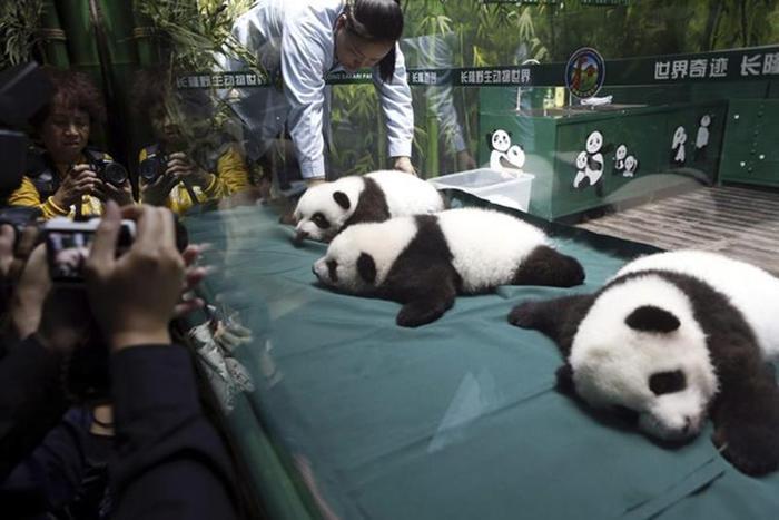 Панда покусала китайца, который подал в суд