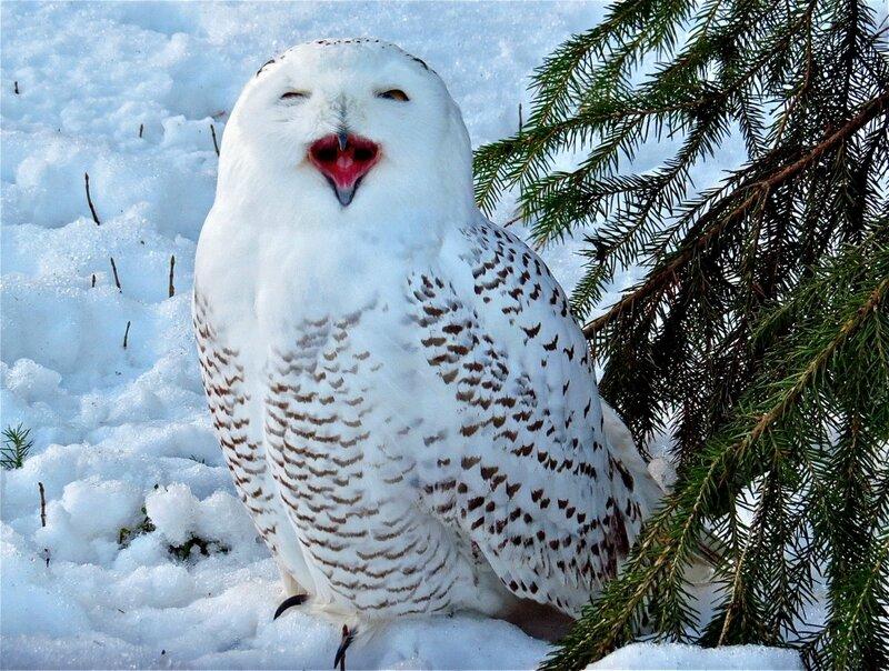 соло Белой совы